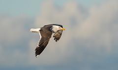 Great Black Backed Gull (Chas Moonie-Wild Photography) Tags: great black backed gull sea bird wild scotland