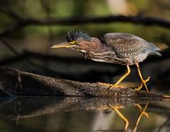 ''La crinière!'' Héron vert-Green héron (pascaleforest) Tags: light lumière canada quebec faune wildlife wild nature nikon passion animal bird oiseau