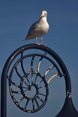 Herring Gull III (Dr Nigel) Tags: lymeregis dorset england nature wildlife bird gull herringgull ammonite lamppost canon eos 60d