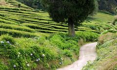 Passeggiando tra le foglie di tè - Tea plantation (Raffa2112) Tags: azzorre azores sãomiguel piantagioneditè sentiero verde ortensie teaplantation green path hydrangeas canoneos750d raffa2112