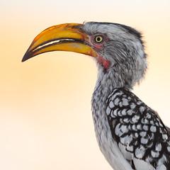 Hornbill - NZ76209 (Peter Hawrylyshyn) Tags: southernyellowbilledhornbill africa hornbills namibia etosha bucerotidae tockusleucomelas