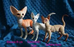 Fennec / Sphinx / Savannah (Ivan Berk) Tags: savannah cat savannahcat evethecat eve studio evestudio fennec sphinx