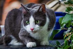 Gatto Zen (2) - Zen cat (2) (Eugenio GV Costa) Tags: approvato gatto cats cat tree gatti