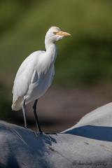 Héron garde boeuf (jean-louis21) Tags: camargue héron garde boeuf dos cheval cattle egret