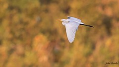 Great egret with River Birch Background (flintframer) Tags: egret fall colors indiana falls ohio state park wow flight color birds shore dattilo canon eos 7d markii ef600mm