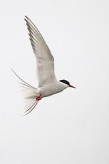 Arctic Tern (JaneTurner68) Tags: arctictern tern bird seabird fishing ythanestuary ythan aberdeen scottishhighlands scotland canon1dmkiv canon100400mmmkiilens canon