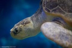 A Turtle at Clearwater Marine Aquarium (Samantha Decker) Tags: turtle clearwater canonef50mmf14usm clearwatermarineaquarium canoneos6d samanthadecker florida fl clearwaterbeach unitedstatesofamerica
