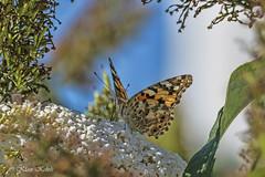 Diestelfalter - 20081901 (Klaus Kehrls) Tags: natur ziere insekten falter diestelfalter schmetterling