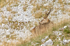 Cerf Elaphe / Red Deer / Cervus Elaphus (PriscillaHernandez85) Tags: alpes alpesfrancaises animauxsauvages canon550d cerfelaphe cervuselaphus drome france frenchalps mammifère nature reddeer tamron18400 vercors eos550d mammal wildlife wildlifephotography deersslab brâmeducerf