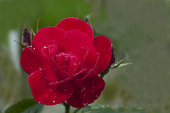 Summer and outdoors.225 (George Ino) Tags: bloemen flowers georgeinocopyright georgeinohotmailcom natuurnaturenatur thenetherlandsnederlandholland utrecht dofbokeh depthoffield macro makro raindrops regendruppels red rood knop bud toblossom rose roos rosaceae coth5 nikonsigma 150mmf28exdgoshsmapomacro