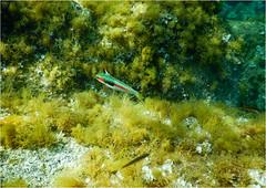 Plongee Porto Pollo DSCN1350 (michele.muno) Tags: corse corsica portopollo plongée mer sea underwater