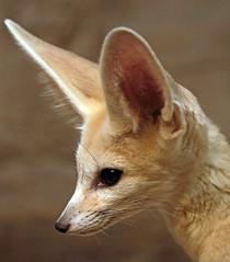 fennec artis 094A0340 (j.a.kok) Tags: animal artis vos fox fennek fennecfoxfennecuszerdavulpeszerdavulpes zoogdier dier mammal predator