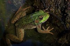 Little Prince (Millie Cruz (On and Off)) Tags: prince little green frog water pond rocks animal amphibian ranaclamitans lithobates closeup