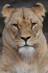 Kacela @ Artis 30-09-2018 (Maxime de Boer (2)) Tags: kacela african lion lioness afrikaanse leeuw leeuwin panthera leo big cats katachtigen natura artis magistra zoo amsterdam animal dier dierentuin gods creation schepping