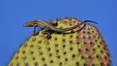 Spiny Lookout (rlt64) Tags: reptiles lizards galapagos cactus travel