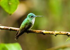 0P7A1266  Andean Emerald Hummingbird, Ecuador (ashahmtl) Tags: andeanemerald hummingbird bird amaziliafranciae mindolindo sanmigueldelosbancos pichinchaprovince ecuador