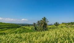 Jatiluwih (Karl-Heinz Bitter) Tags: asien bali jatiluwih landscape landschaft palmen pflanzen reisfeld reisterrassen asia plants rice terrace weltkulturerbe world heritage travel