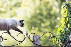 Chat en contre-jour (Seb. Del.) Tags: chat cat félin animal