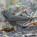 Fox Sparrow (Sooty)