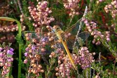 Red Veined Darter-Female (CJT29(No longer Pro)) Tags: sympetrumfonscolombii redveineddarter newforest hampshire cjt29 dragonfly