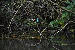 Basingstoke Canal Aldershot-Farnborough 29 September 2019 021 (paul_appleyard) Tags: basingstoke canal aldershot farnborough hampshire hants september 2019 kingfisher