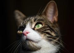 'Tiffin (aged two)' (Jonathan Casey) Tags: cat tabby kitten shorthair british portrait nikon d850 sigma 135mm f18 art jonathan casey photography pet