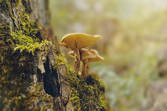 mushroom (Frokoko) Tags: herbst hintergrund wunderschön schönheit braun farbe diät erde fallen lebensmittel wald frische pilz gras boden gruppe wachsen makro moos champignon natur organisch pflanzen gift baum gemüsebeet weis holz