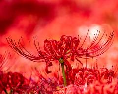 Lycoris radiata (shinichiro*) Tags: 20190928dsc5102 2019 crazyshin nikon1v3 v3 1nikkorvr70300mmf4556 september autumn yokohama japan jp flower macro candidate 48815132356