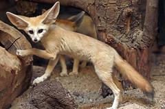 fennec artis 094A0343 (j.a.kok) Tags: animal artis vos fox fennek fennecfoxfennecuszerdavulpeszerdavulpes zoogdier dier mammal predator