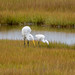 Egrets and Yellow-legs