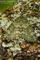 Autumn Green Carpet (Chloroclysta miata) (gcampbellphoto) Tags: chloroclysta miata autumn green carpet moth insect macro nature wildlife county antrim ballycastle northern ireland
