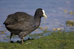 Coot at the salad bar (Alan McCluskie) Tags: coot birds aves oiseaux wwtslimbridge canon7dmk2 sigma150600mmsp fulicraaltra