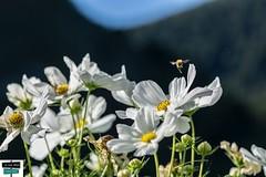 Bokeh (https://pays-basque-et-bearn.pagexl.com/) Tags: arette aquitaine abeille fleurs bokeh nature colinebuch montagne pyrénéesatlantiques béarn hautbéarn france