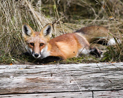 A lazy Sunday (O'Quinn Photo) Tags: fox pup urban wildlife humberbaypark toronto oquinn ontario nature city boardwalk morning sunday lakeontario