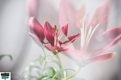 Bokeh double expo (https://pays-basque-et-bearn.pagexl.com/) Tags: 64 aquitaine arette bokeh béarn colinebuch france nouvelleaquitaine oiseaux pyrénéesatlantiques doubleexposition hautbéarn montagne nature pyrénées sudouest fleur
