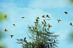 migrating ear-full (1crzqbn) Tags: cedarwaxwings textures sliderssunday outside 1crzqbn inmygarden
