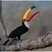 Toch Toucan - Reuzentoekan (Ramphastos toco) ...