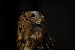 Star Gazing (Tawny Owl) no flash! (robin elliott photography) Tags: tawnyowl outdoors outside feathers bird birds birdwatch night