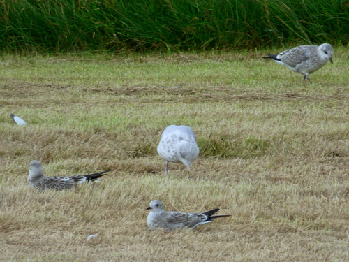 Walls Show - juvenile gulls