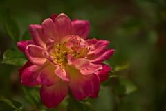 Rose (pstenzel71) Tags: natur pflanzen blumen samyang135mm20 samyang135mm2020tc flower rose bokeh rosa darktable