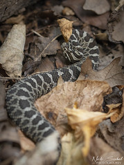 Eastern Massasauga Rattlesnake (Nick Scobel) Tags: eastern massasauga rattlesnake sistrurus catenatus michigan rattler venomous snake texture pattern scales wide angle forest fall autumn leaves habitat tree color coiled hidden