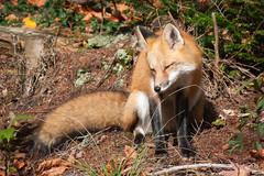 Red fox encounter: 2 of 4 (vaneramos) Tags: vulpesvulpes animal fletcher mammal orange redfox