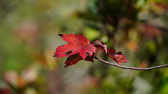 Acer Rubrum II (AVNativePlants) Tags: red maple native wild tree eastern united states fall foliage leaf plant