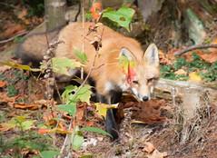 Red fox encounter: 1 of 4 (vaneramos) Tags: vulpesvulpes animal fletcher mammal orange redfox