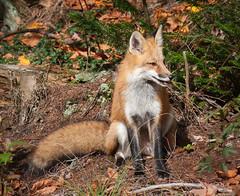 Red fox encounter: 3 of 4 (vaneramos) Tags: vulpesvulpes animal fletcher mammal orange redfox