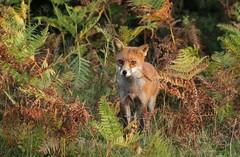 Dorset Fox (farrertracy) Tags: vulpesvulpes fox heathland bracken britishwildlife mammal dorset dusk red green brown white sunshine