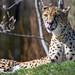 Cheetah lying in the grass