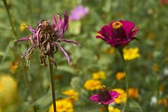 autumn is coming (van1o) Tags: autumn flowers purple yellow bokeh sony sonya7 sonyilce7 sonaya7 katowice natureautumnkatowice parkkosczuski