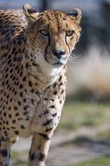 A cheetah approaching (Tambako the Jaguar) Tags: cheetah big wild cat walking approaching male portrait face sunny grass kinderzoo zoo knie rapperswil switzerland nikon d5