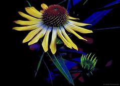 Paint me happy…  (-‿◦☀) (Mona Zimba) Tags: echinacea coneflower flower visualart saariysqualitypictures onlythebestofnature